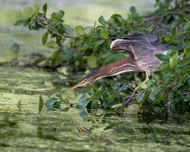 Green Heron Hunting.1.jpg