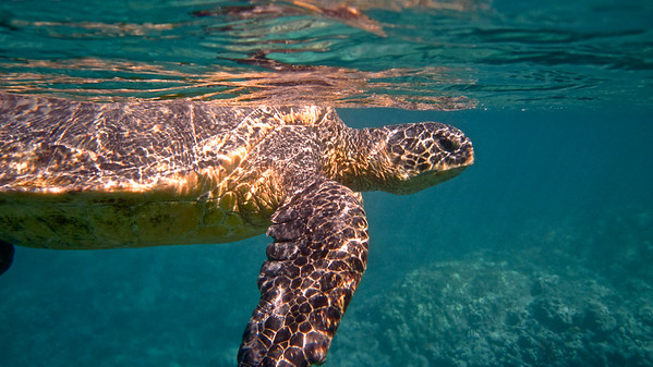 Pacific Green Sea Turtle Profile
