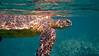 Pacific Green Sea Turtle Profile