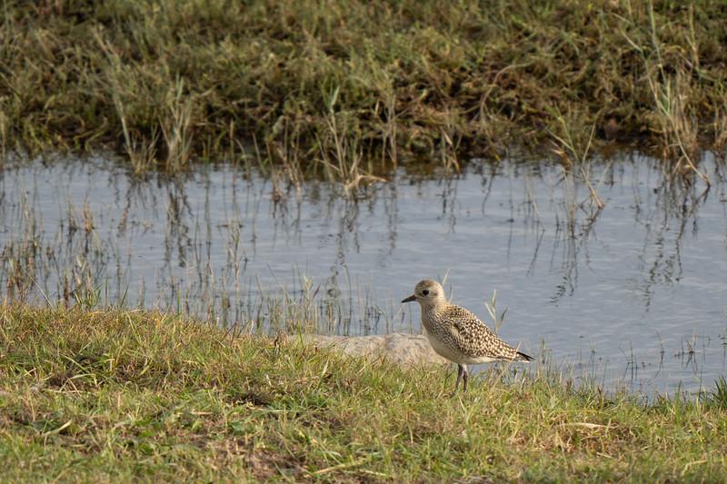 siewka złota | european golden plover | pluvialis apricaria
