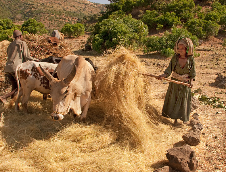 Using cattle to thresh (separating grain from straw) teff in central Ethiopia. The farmer's wife fluffs up the harvest periodically to aid in the separation process.