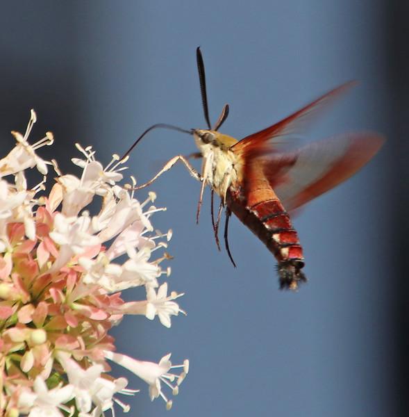 Hummingbird moth 254