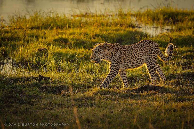 Leopard_Bots_0400cc2fx-web.jpg