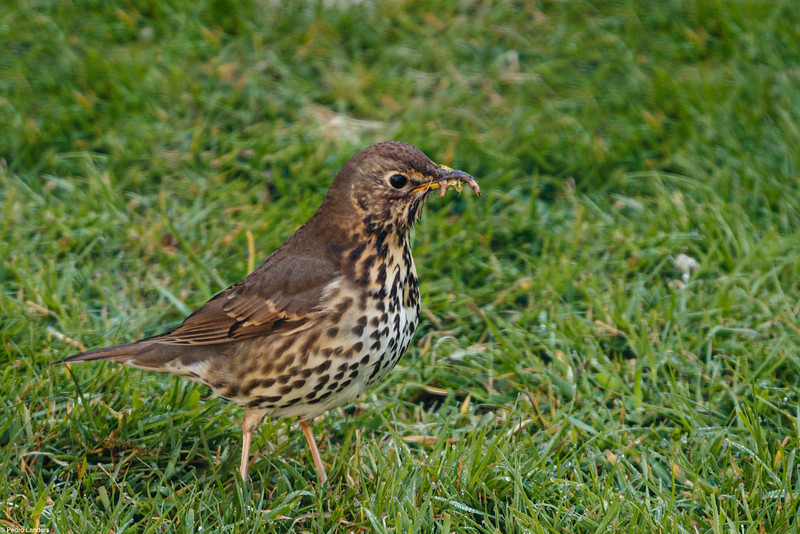 Song Thrush with Worm