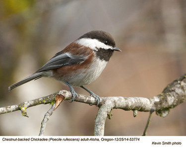 Chestnut-backed Chickadee A53774.jpg