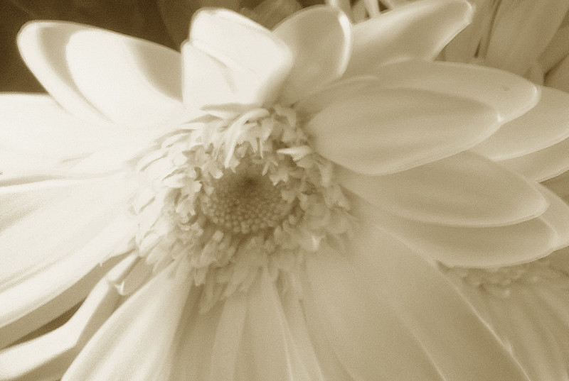 Sepia Sonflower