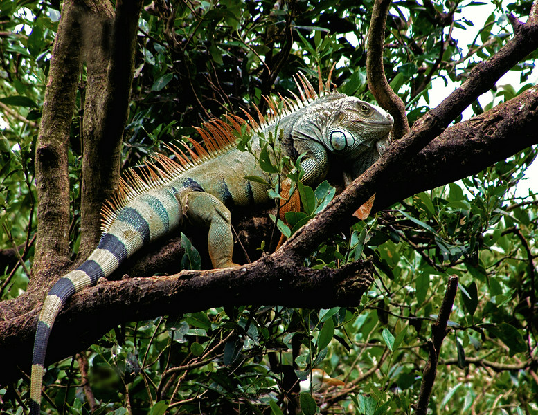 "I photographed this massive  iguana while driving in the back waters of Puerto  Rico. Its lengthen must have be 7-8 feet long (see tail  in other photo)  with a very large head. I came across this creature  by accident . He started coming down the tree when I started getting closer so I decided I would get my ""running legs"" working. Kept the car running."