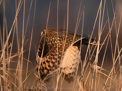 Short Eared Owl flying through tall grass