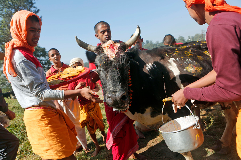 . Young Hindu priests perform rituals on a cow during Tihar festival celebrations in Kathmandu, Nepal, Thursday, Oct. 19, 2017. Cows are considered sacred to Hindus and are worshipped during Tihar festival, one of the most important Hindu festivals dedicated to the Goddess of wealth Laxmi. (AP Photo/Niranjan Shrestha)