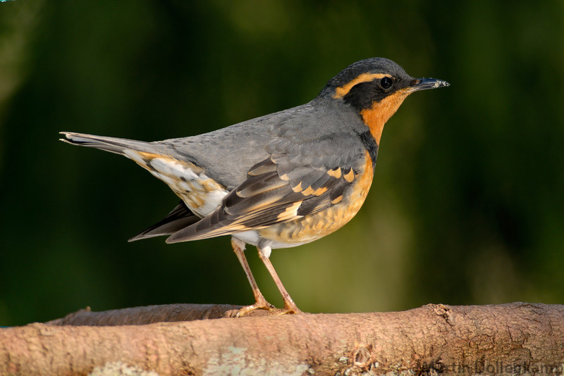 Varied Thrush Male