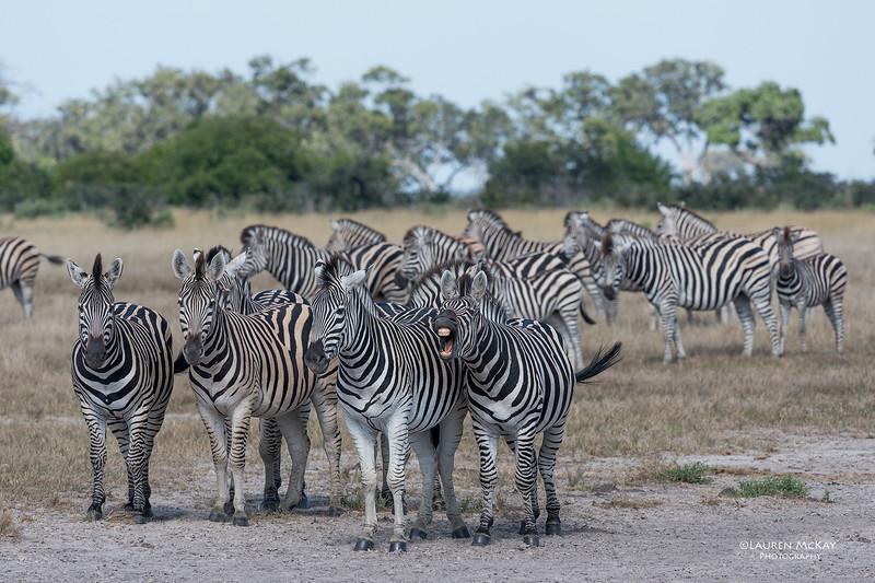 Burchell's Zebra, Savuti, Chobe NP, Botswana, May 2017-5.jpg