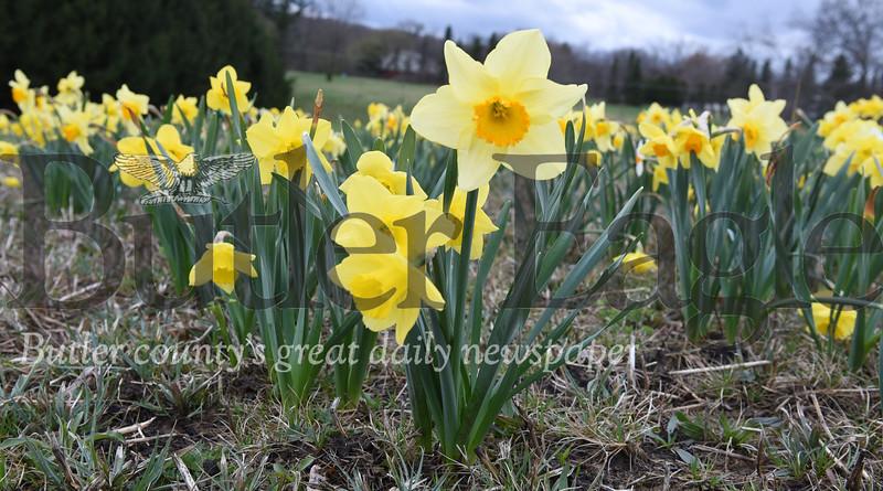 0417_FOC_daffodils_3.jpg