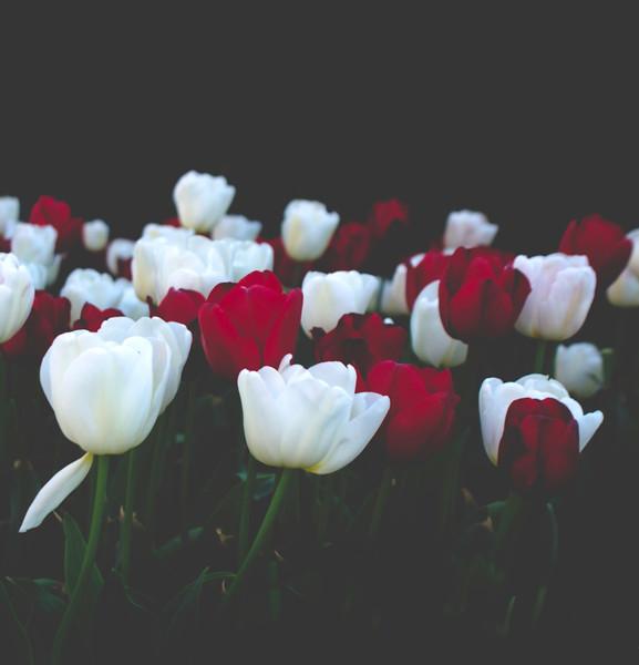 tulip dreams.tif