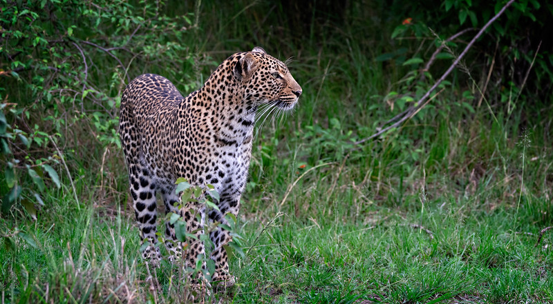 Leopard Looking Around