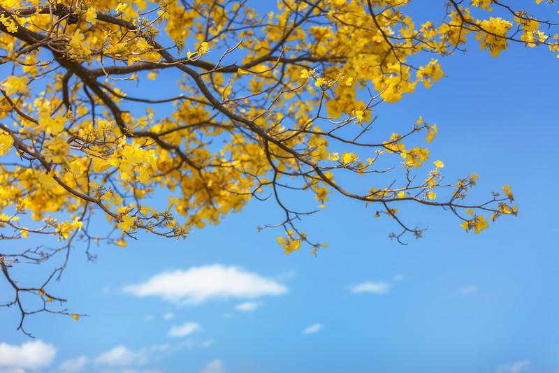 Jacaranda Tree #1