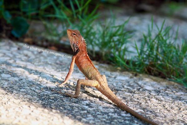 080824 Agama Lizard?