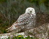 Rare Visitor, Snowy Owl at Little Talbot Island State Park #1 01/14
