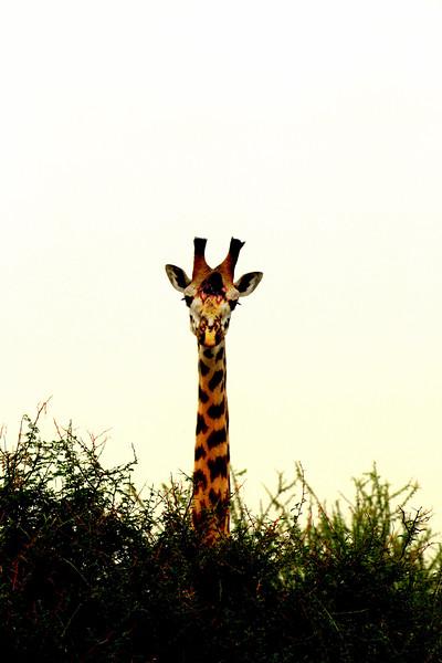 giraffe ps.jpg