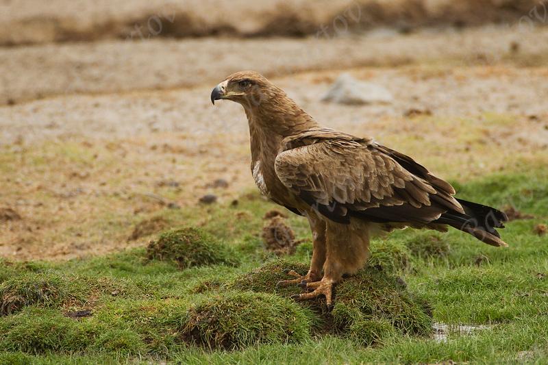 Tawny eagle, Aquila rapax