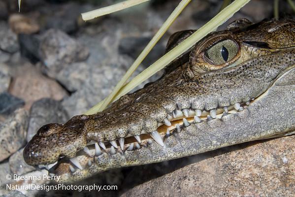 Crocodile (zoo)