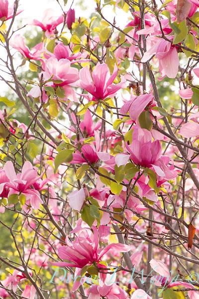 Magnolia x 'Galaxy'_2458.jpg