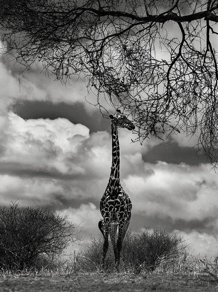 Giraffe at the Tarangire National Park.  Tanzania, 2019