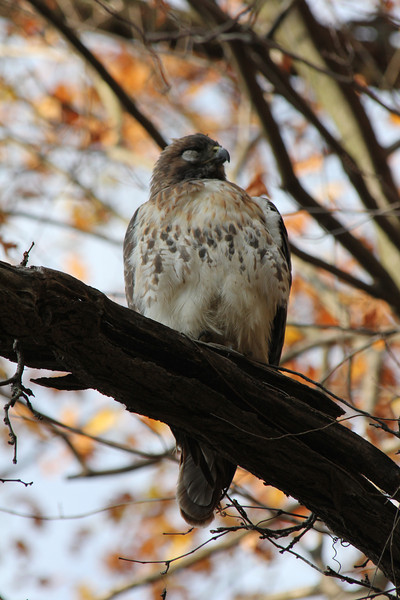 Red Tailed Hawk 2012-11-10