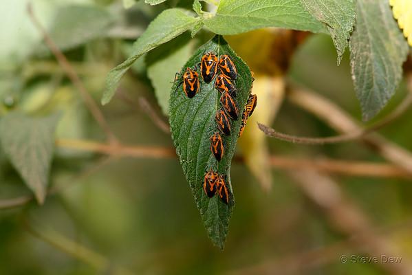 Stink Bugs & Shield Bugs