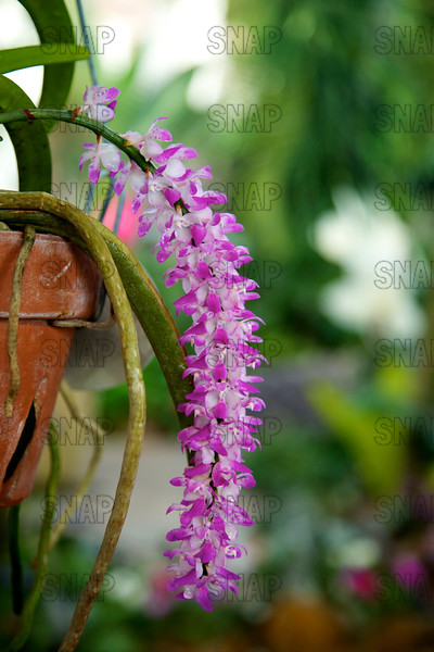 The Multi-Flowered Aerides, Aiyaret - Phuang Malai, White-naped Woodpecker (Aerides multiflora), was on exhibit at the White River Gardens in Indianapolis, IN.  The orchids were part of the Wheeler Orchid Collection at Ball State University in Muncie, IN.