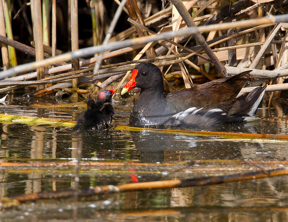 Moorhen and Chick