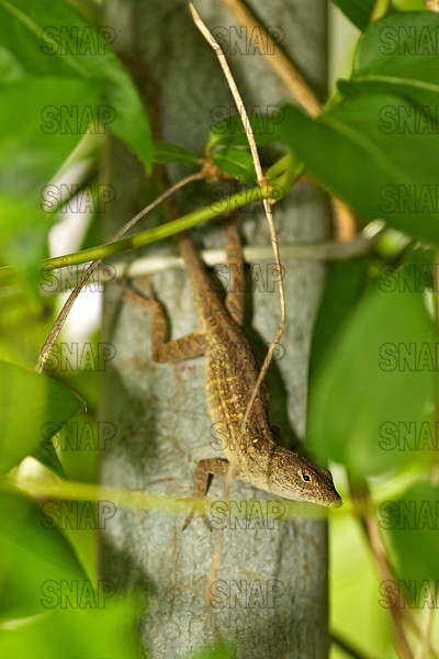 Brown, Cuban or Bahamian Anole (Anolis sagrei).