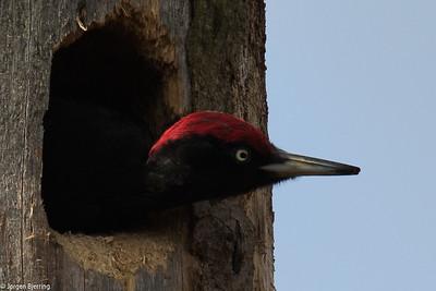 Woodpeckers - Spættefugle