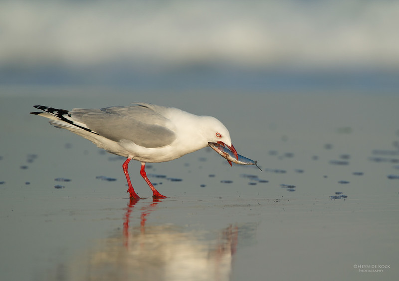 Silver Gull, Bellambi Lagoon, NSW, Aus, Jun 2013.jpg