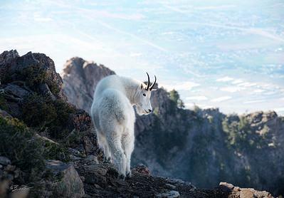 Mtn Goats