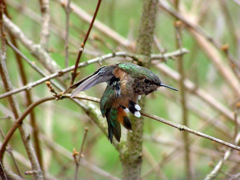 Hatching-year male Rufous Hummingbird