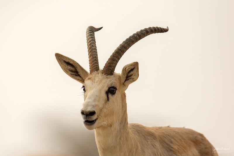 Gazelle (18).jpg