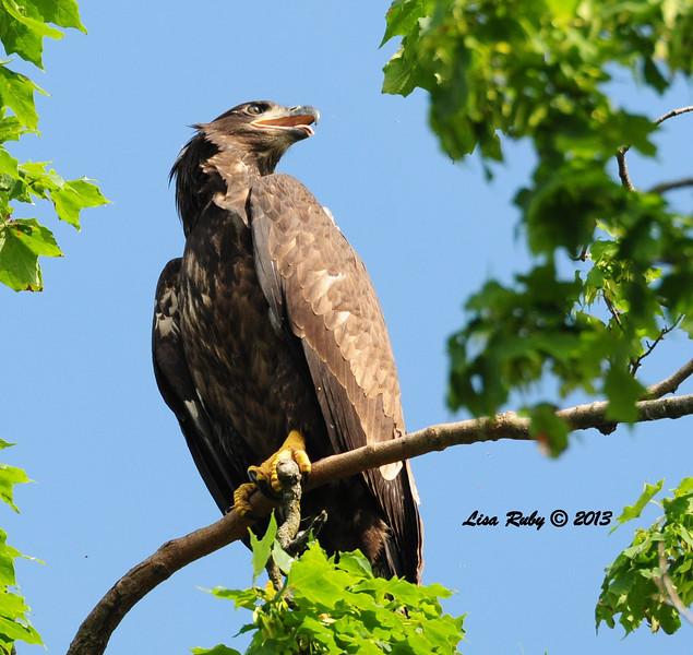 Juvenile Bald Eagle - 6/27/2013 - Fish Hatchery, Decorah Iowa