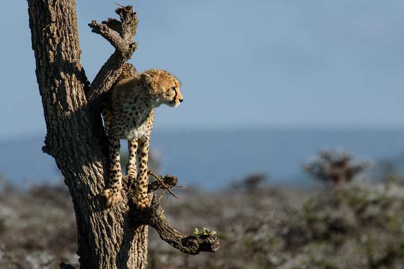 Young Cheetah looking for prey from a tree