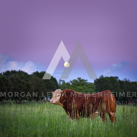 Square Scenic Images (Cattle)