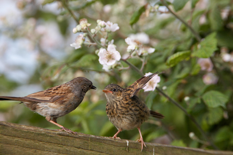 Dunnock and Chick - 1888.jpg