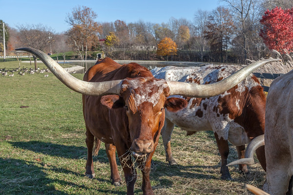 Texas Longhorn cattle in Ohio