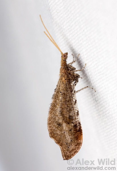 Lomamyia sp.