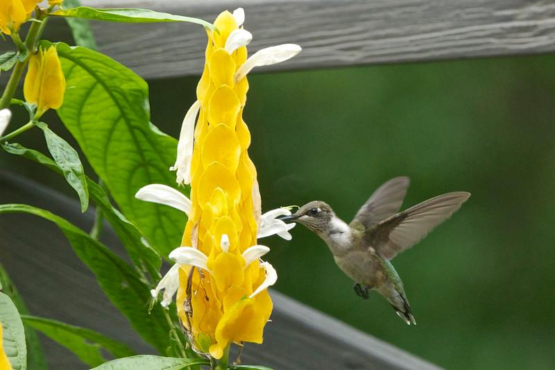 Ruby-throated Hummingbird_1116 - Version 2.jpg