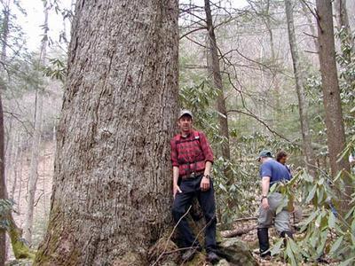 Huge-chestnut-oak-.jpg