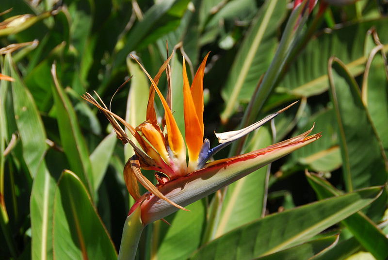 Birds of Paradise at the Getty Center Garden in California