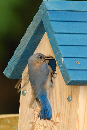 Bluebird Nest Box '06