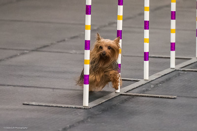 Dinky Dogs TDAA Trials - February 3-4, 2018