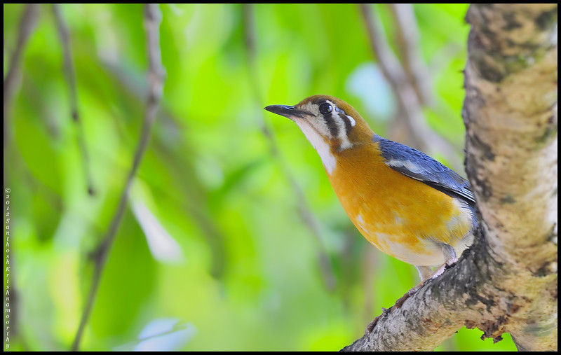 Orange beauty...!... Orange headed ground thrush......