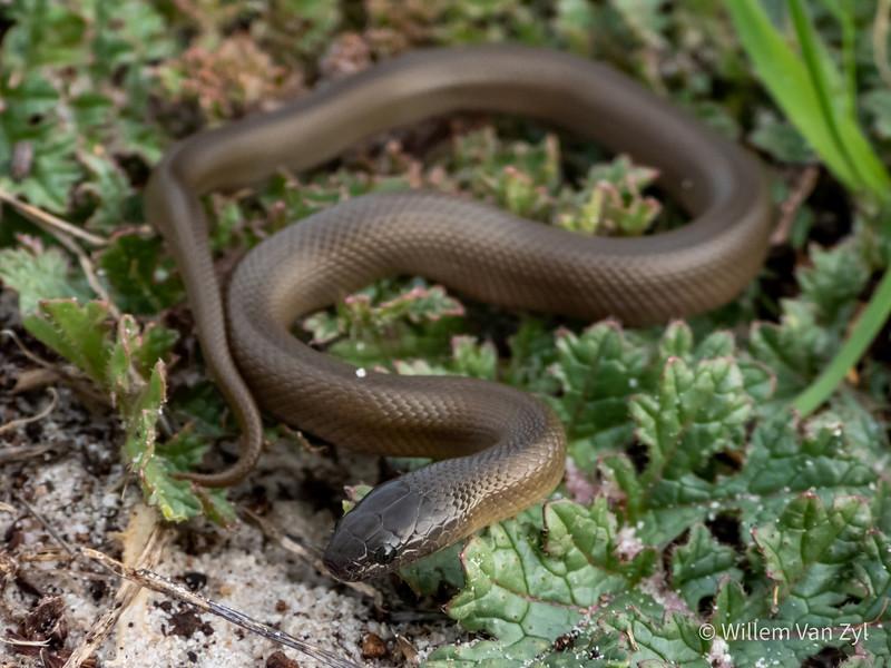 20190629 Olive Snake (Lycodonomorphus inornatus) from West Beach, Cape Town