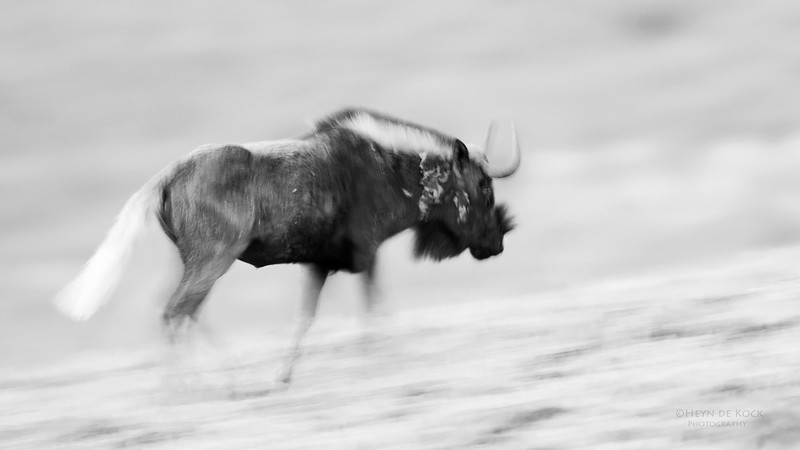 Black Wildebeest, b&w, Goldengate NP, FS, SA, Oct 2016-2.jpg